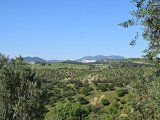 View of the land of olive groves